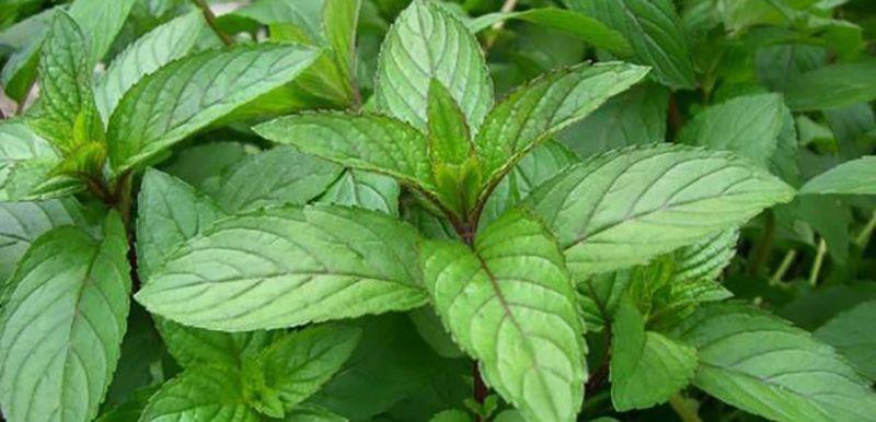 Sadece bir yuduma ihtiyacınız var. Bu bitki ile karaciğeriniz yenilenecek!