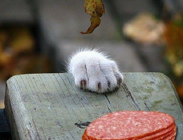 yemeğinizi çalacak 10 yaramaz kedi