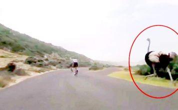 Bisikletçiler ile yarışan devekuşu