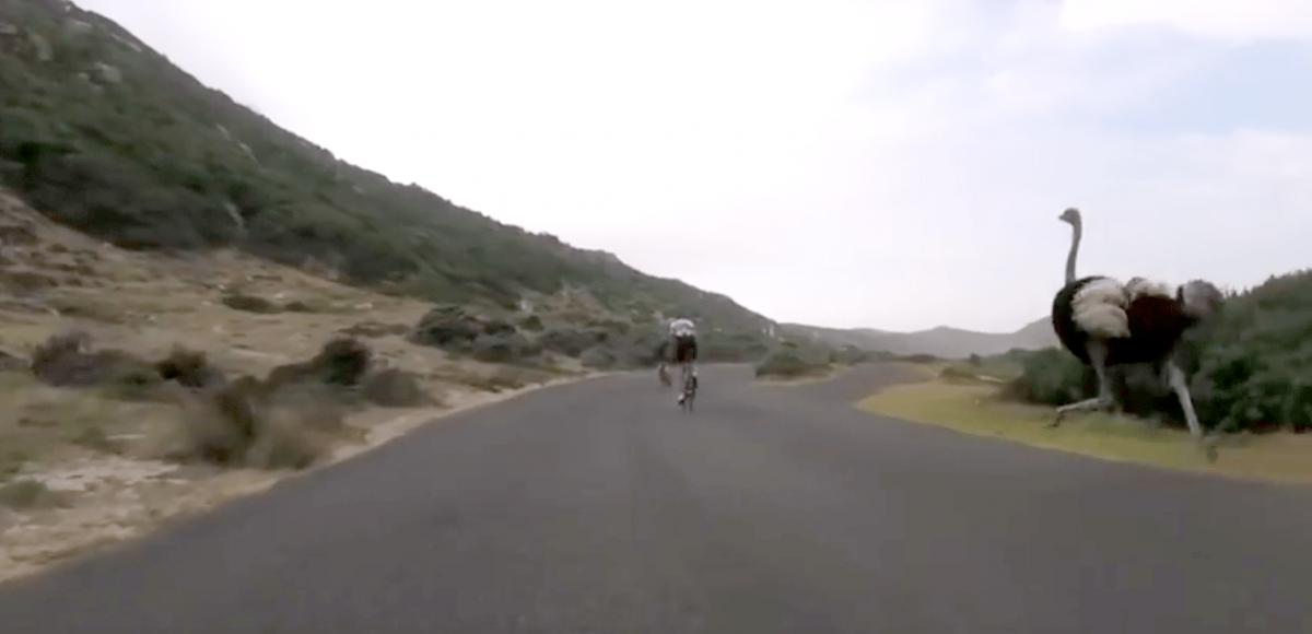 Bisikletçiler ile Yarışan Devekuşu Komik Anlar Yaşattı